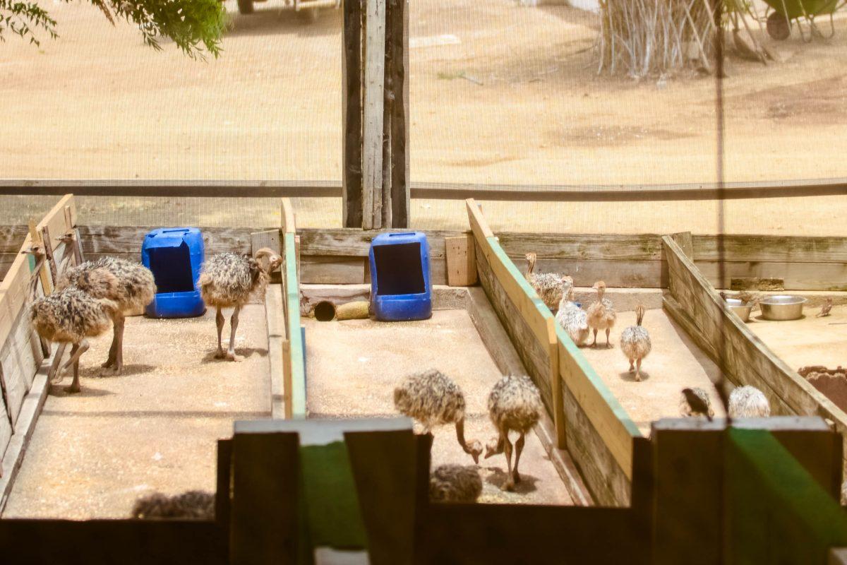 In einem eigenen Gehege wird auf der Straußenfarm auf Curaçao der Nachwuchs der Straußenfamilien gehalten - © James Camel / franks-travelbox
