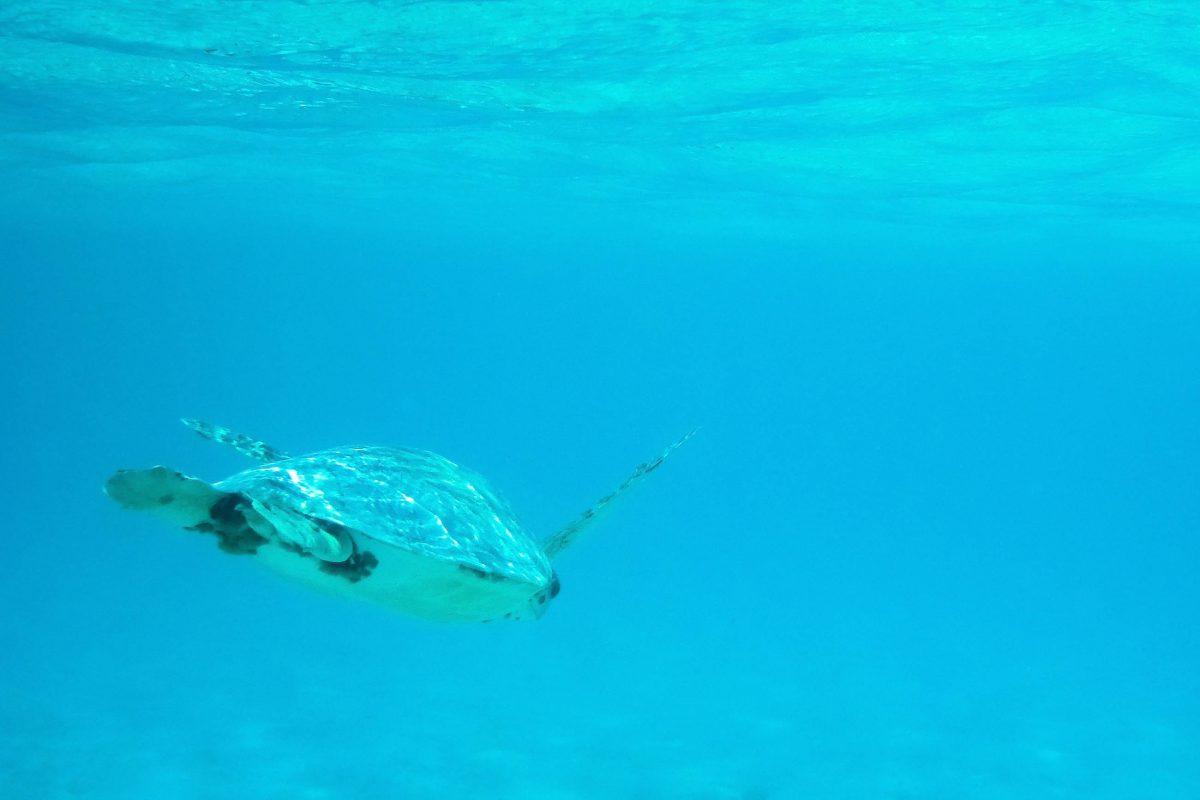 Meeresschildkröten tummeln sich im türkisblauen Wasser um Klein-Curaçao - © Lila Pharao / franks-travelbox