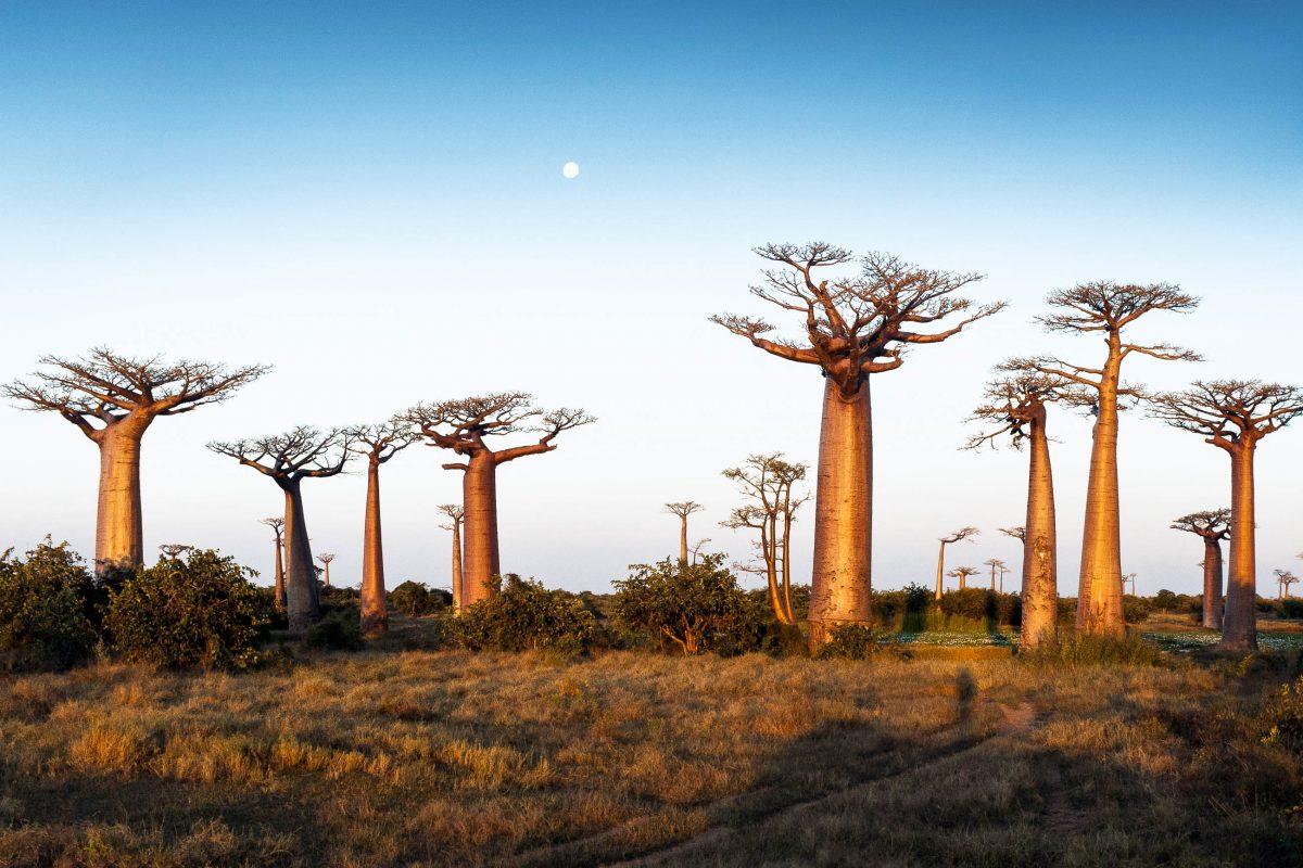 Die Baobab-Allee ist knapp 45 Autominuten von Morondova entfernt, die Baobabs säumen die buckelige Straße wie mächtige Wächter, Madagaskar - © Nazzu / Fotolia
