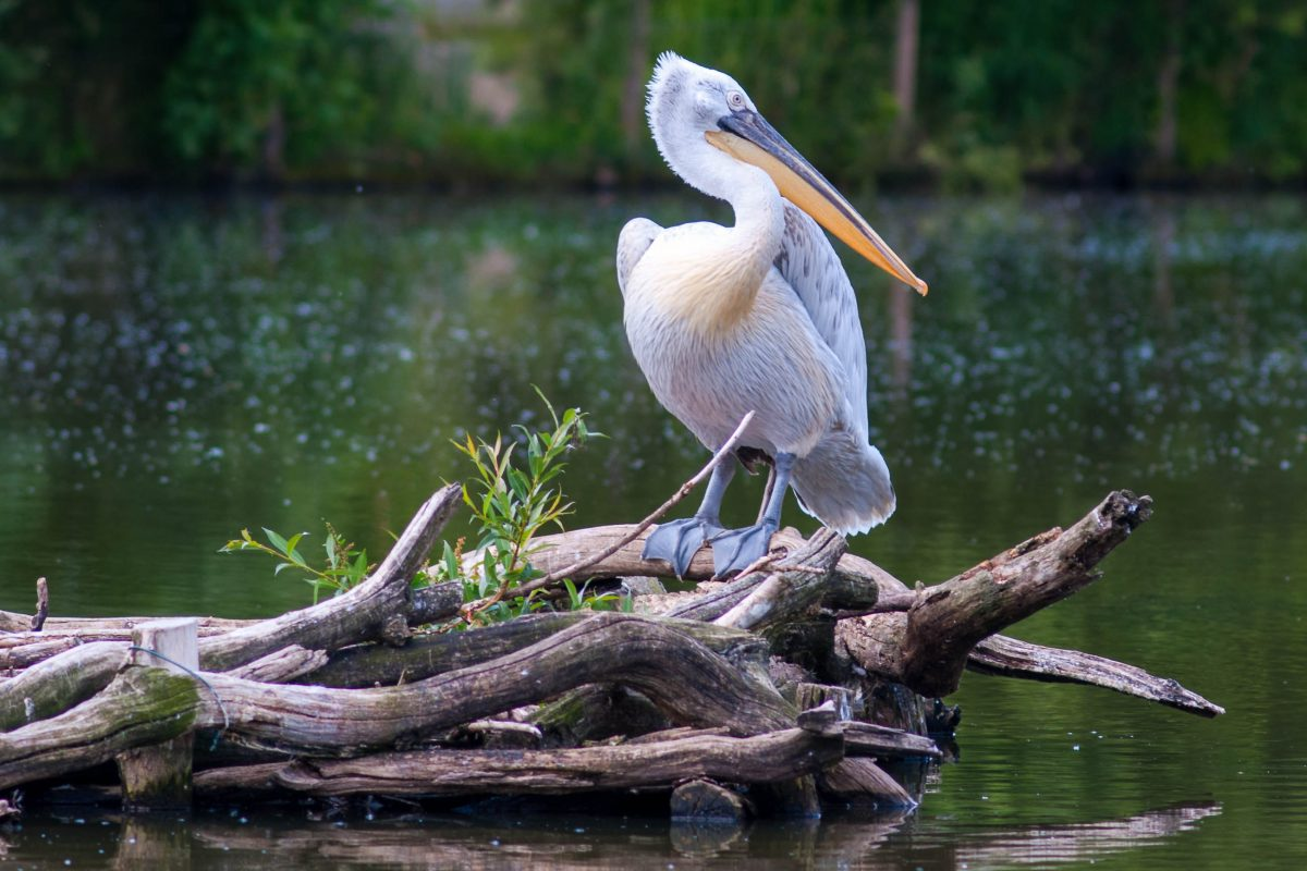 Auf einem bezaubernden Teich in Nizzas Parc Phoenix sorgen Schwäne und Pelikane für malerische Fotomotive, Frankreich - © ehtesham / Shutterstock