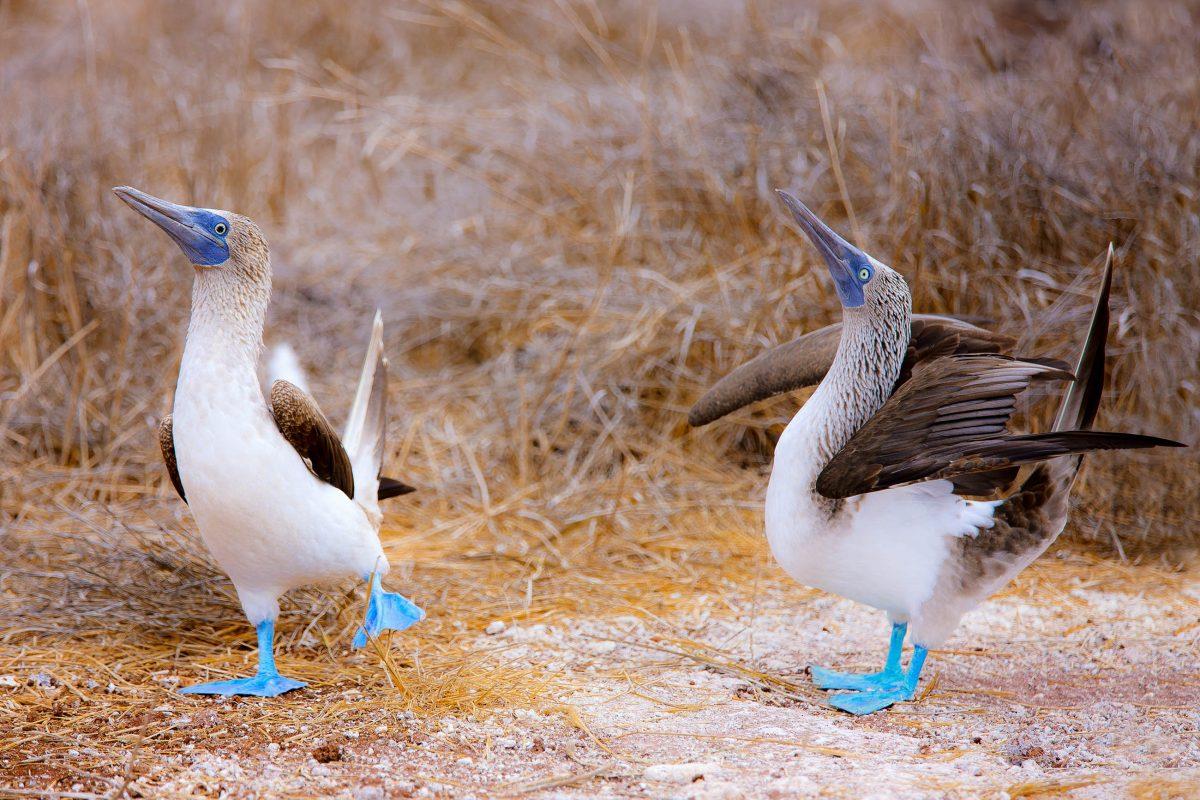 Ein Paar Blaufußtölpel beim Paarungstanz, Galapagosinseln - © BlueOrange Studio / Fotolia