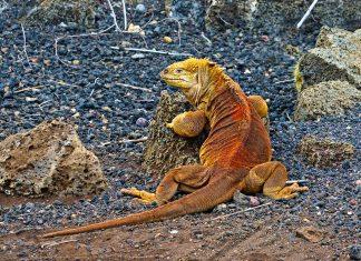 Eine der seltenen Landeidechsen im Corral de Iguanas Terrestres in der Charles-Darwin-Forschungsstation auf den Galapagos-Inseln - © Claude Huot / Shutterstock