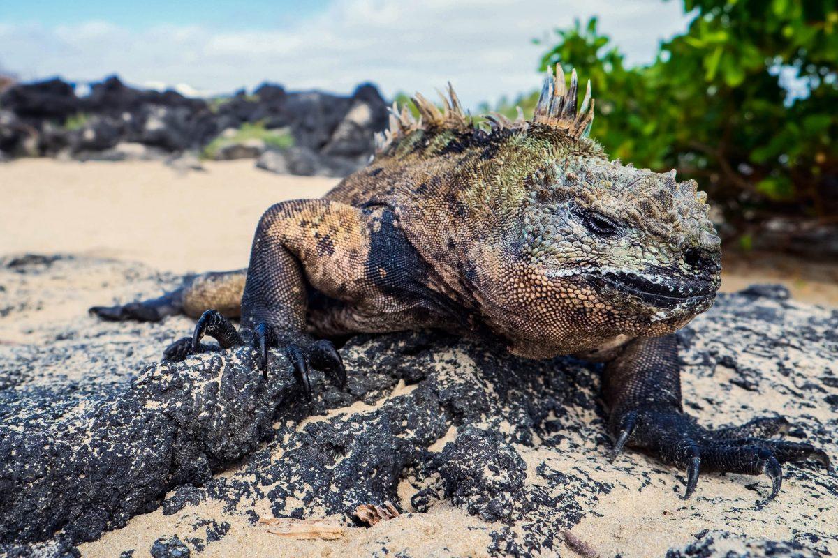 Eine endemische männliche Meerechse im Nationalpark Galapagosinseln - © BlueOrange Studio / Fotolia
