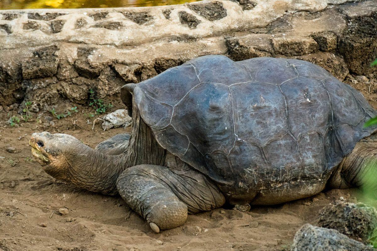 """""""Lonesome George"""" ist als Landschildkröte der Isla Pinta der letzte seiner Art, Charles Darwin Forschungsstation, Galapagosinseln - © RHIMAGE / Shutterstock"""