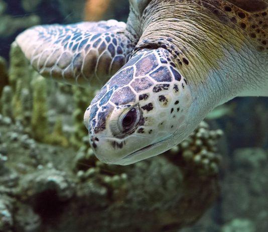 Schildkröte in der Black Turtle Cove im Norden der Insel Santa Cruz im Galapagos Archipel - © Andrea Leone / Shutterstock