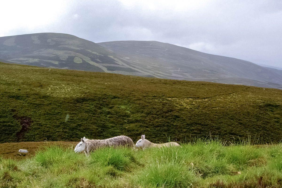 Schafe fühlen sich in den sattgrünen Tälern der Grampian Mountains in Schottland, Großbritannien, pudelwohl - © flog / franks-travelbox