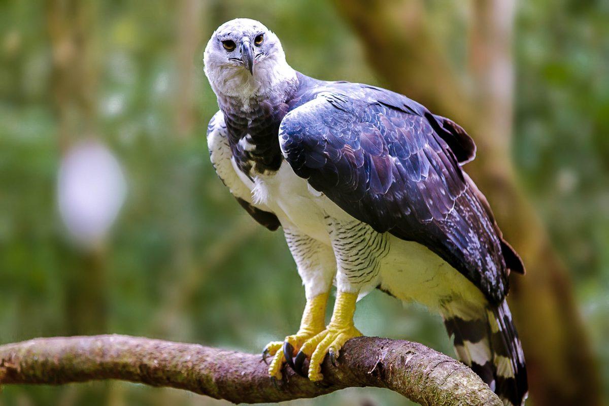 Die seltene Harpyie ist der heimliche Star unter den Vögeln der Rupununi-Savanne in Guyana - © MarcusVDT / Shutterstock