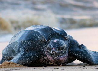 Eine Lederschildkröte am Shell Beach von Guyana im Norden des Landes, einem idealen Brutplatz für die Meeresschildkröten  - © Stephanie Rousseau / Shutterstock