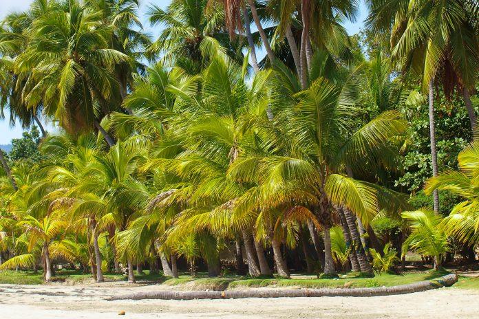 Palmen am Stadtstrand von Jacmel, der Hauptstadt des Departements Sud-Est im Karibikstaat Haiti  - © TomB / Fotolia