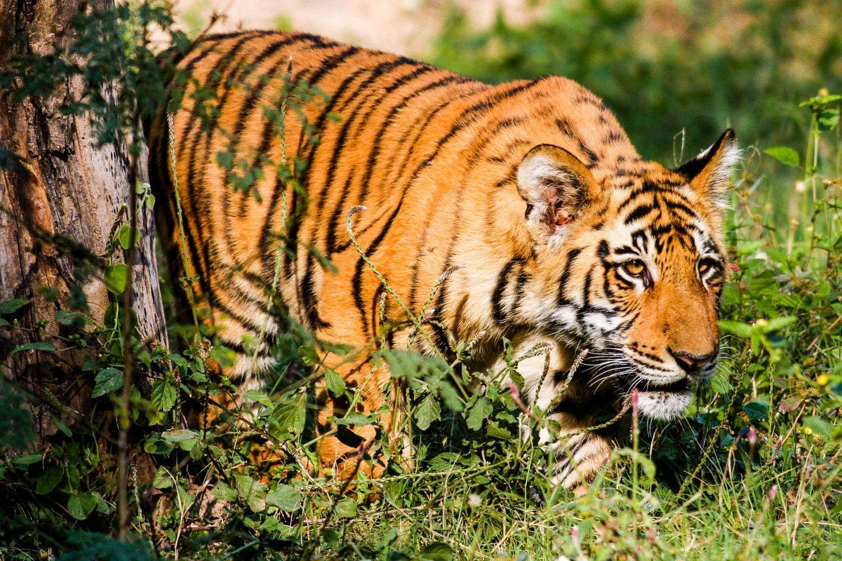 Der Corbett-Nationalpark ist eines der weltweit wichtigsten Schutzgebiete für den Bengalischen Tiger, Indien - © Nachiketa Bajaj / Shutterstock