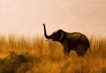 Ein trompetender Elefant im   Corbett Nationalpark in Indien - © indiangypsy / Shutterstock