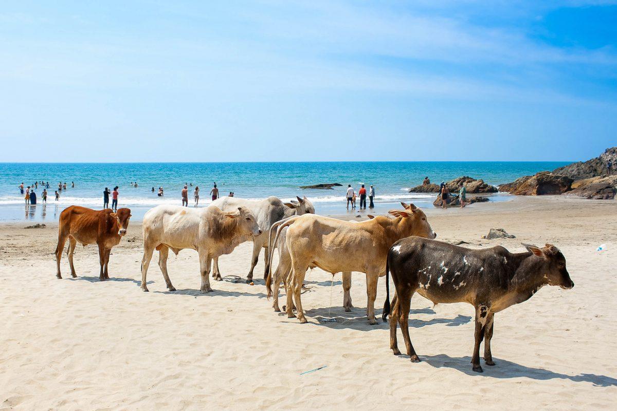 Kühe am tropischen Strand von Goa in Indien - © AleksandarTodorovic/Shutterstock