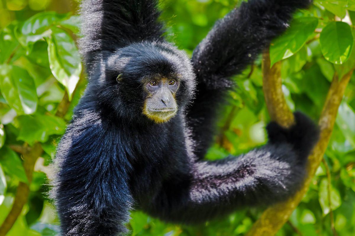 Der Siamang ist der größte und schwerste Vertreter der Gibbon-Affen und lebt unter anderem im Gunung Leuser Nationalpark auf Sumatra, Indonesien - © Kjersti Joergensen / Shutterstock