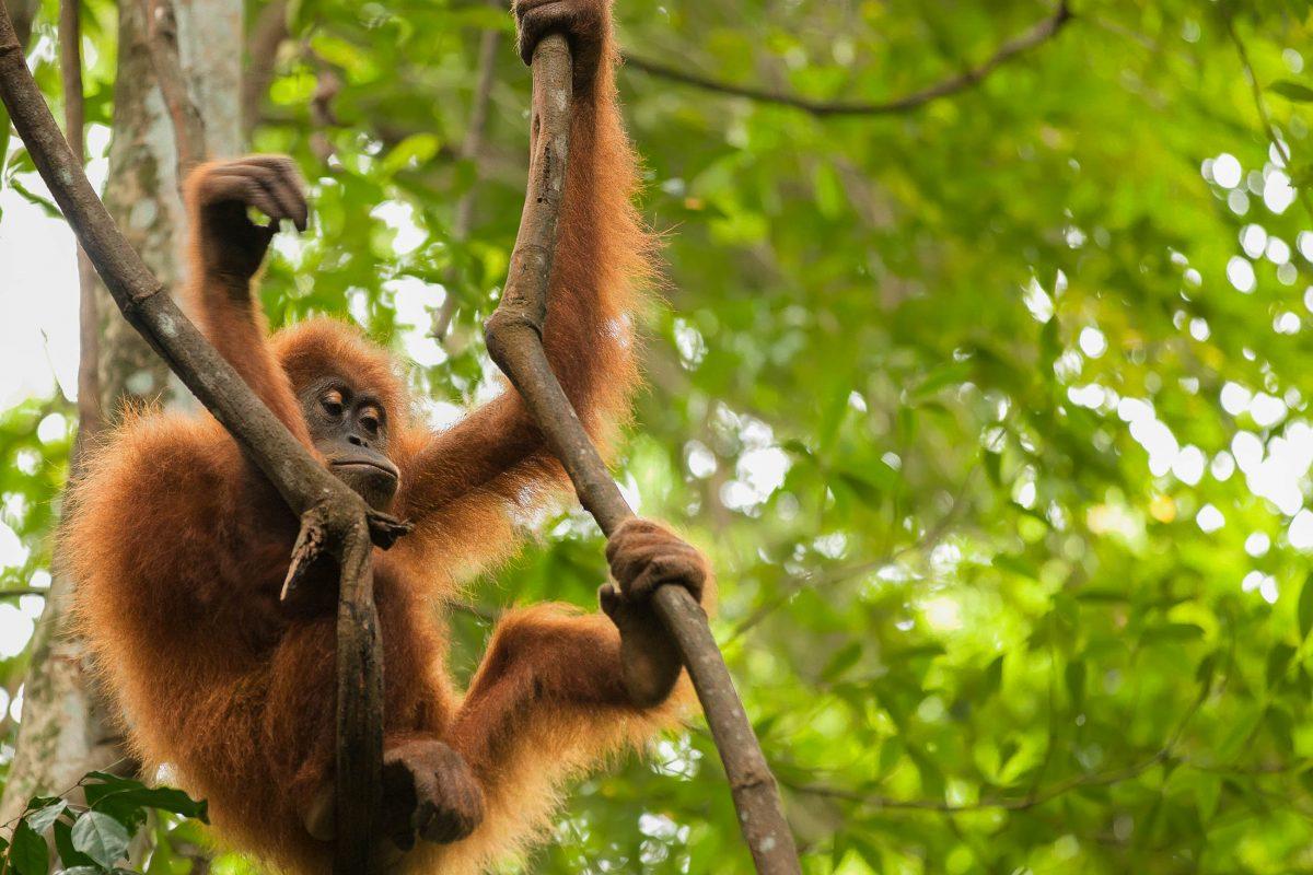 Ein junger Orang Utan auf einer Liane im Gunung Leuser Nationalpark, Indonesien - © Stephane Bidouze / Shutterstock