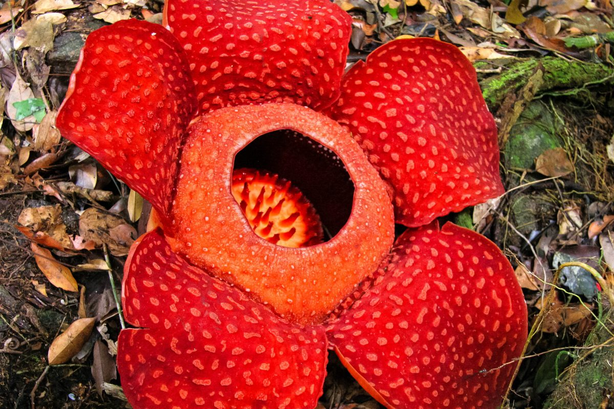Eine Rafflesia, diese Pflanze bildet mit bis zu einem Meter die größten Blüten im Pflanzenreich, Gunung Leuser Nationalpark, Indonesien - © kkaplin / Shutterstock