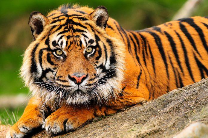 Einer der seltenen Sumatra Tiger, Gunung Leuser Nationalpark, Indonesien - © neelsky / Shutterstock