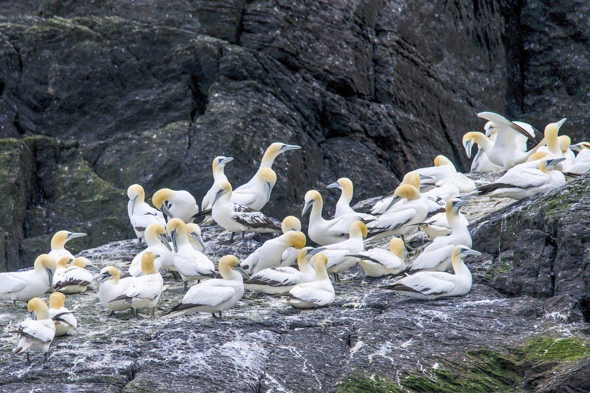 Auf der winzigen Insel Little Skellig nahe Skellig Michael in Irland lebt eine der größten Basstölpel-Kolonien der Welt - © Andreas Juergensmeier / Shutterstock