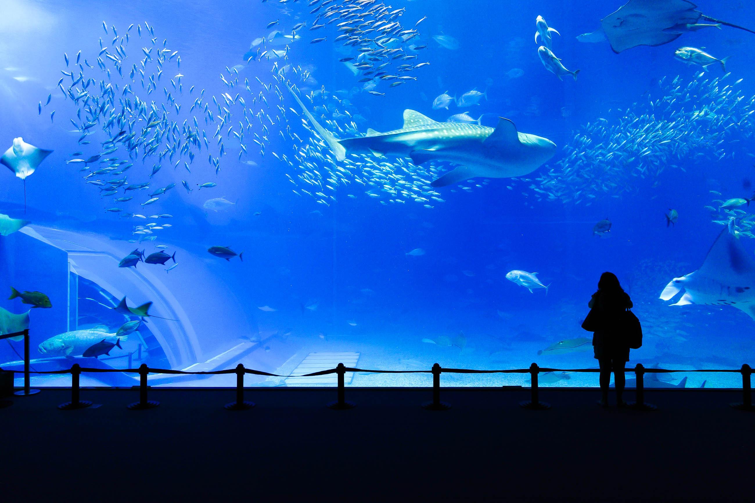 Okinawa churaumi aquarium japan franks travelbox for Salzwasser aquarium