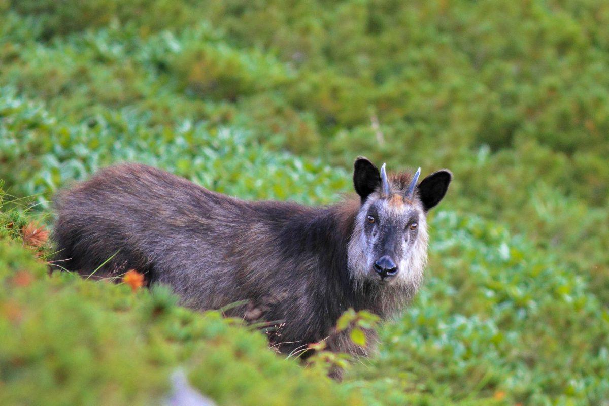 Der seltene Japanische Serau hat im Bandai-Asahi-Nationalpark in Japan Zuflucht gefunden - © feathercollector / Shutterstock