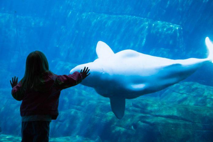 Ein Mädchen bewundert einen Beluga Wal im Vancouver Aquarium, Kanada - © Hannamariah / Shutterstock