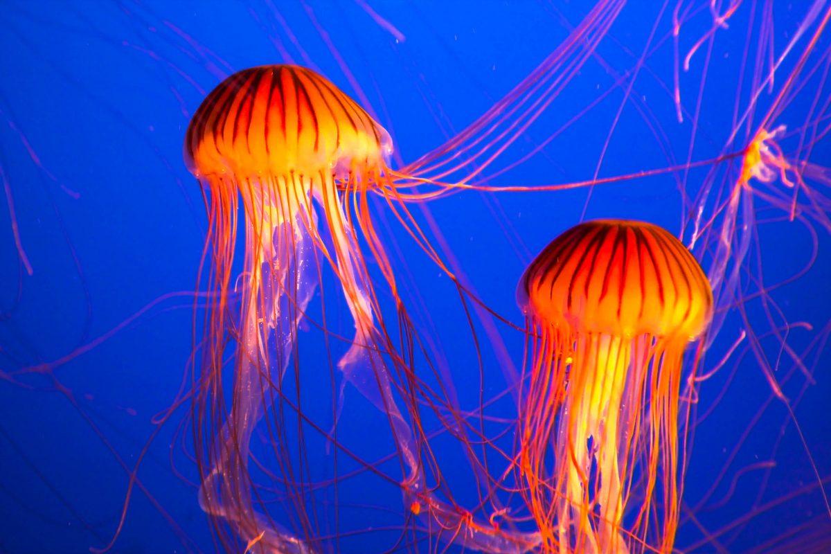 Prächtige exotische Qualle im Aquarium von Vancouver, Kanada - © kavram / Shutterstock