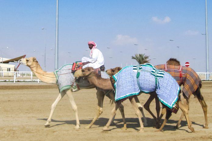Die Kamelrennbahn von Katar liegt im Westen der Hauptstadt Doha in Al Sheehaniya, und kann mit dem Auto in etwa 30min erreicht werden - © FRASHO / franks-travelbox