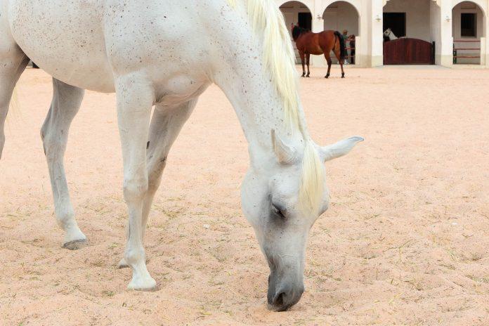 Das Al Shaqab Gestüt in Al Rayyan, Doha, züchtet unangefochten die schönsten und besten arabischen Show- und Rennpferde Katars und vielleicht sogar der ganzen Welt - © Paul Cowan / Shutterstock