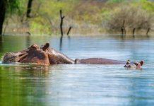 Der Baringo-See ist einer der beiden Süßwasser-Seen im Great Rift Valley in Kenia, in dem sich auch Flusspferde pudelwohl fühlen - © Byelikova Oksana / Shutterstock
