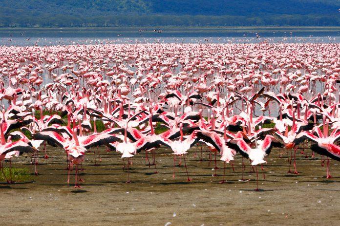 Der Lake-Nakuru im gleichnamigen Nationalpark ist die Heimat von über 2 Millionen Flamingos, die den Nakurusee wie eine flauschige rosa Decke überziehen, Kenia - © MARCO MAZZACANI / Fotolia