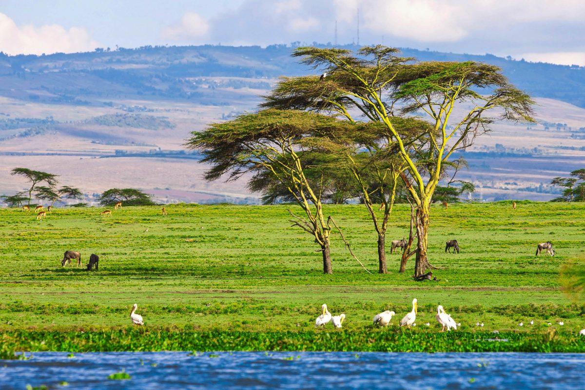 Der Naivasha-See ist einer der beiden Süßwasserseen im Great Rift Valley in Kenia und ein Paradies für Wasservögel und andere Tiere - © Pal Teravagimov / Shutterstock