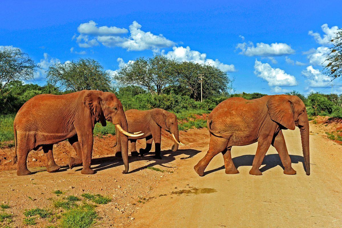 Die Roten Elefanten im Tsavo-Ost-Nationalpark sind nicht wirklich rot, sondern schützen sich mit rotem Staub vor Sonne und Insekten, Kenia - © lewald / Shutterstock