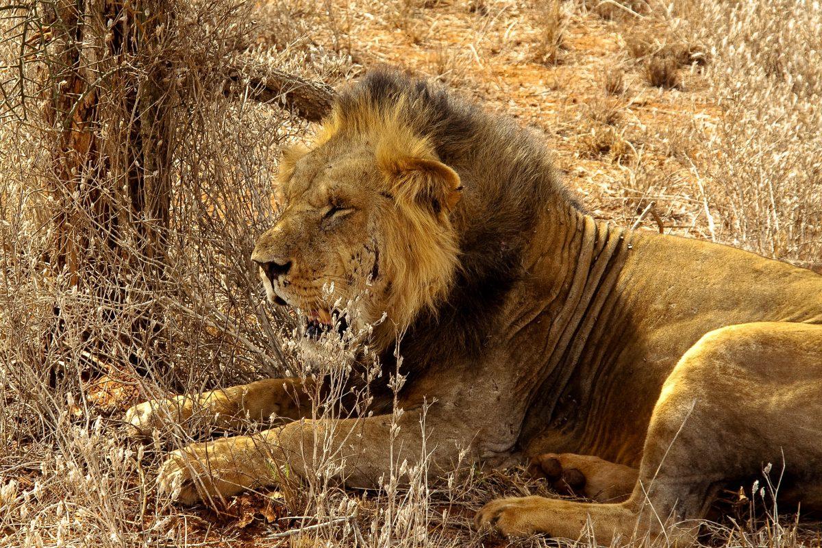 Die Tsavo-Löwen haben eine charakterstisch schüttere Mähne, die auf das heiße Klima im Süden Kenias zurückgeführt wird - © pigl3t / Shutterstock