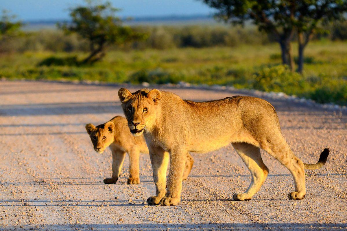 Eine Löwin und ihr Junges überqueren eine Straße im Amboseli-Nationalpark in Kenia - © Karel Gallas / Shutterstock