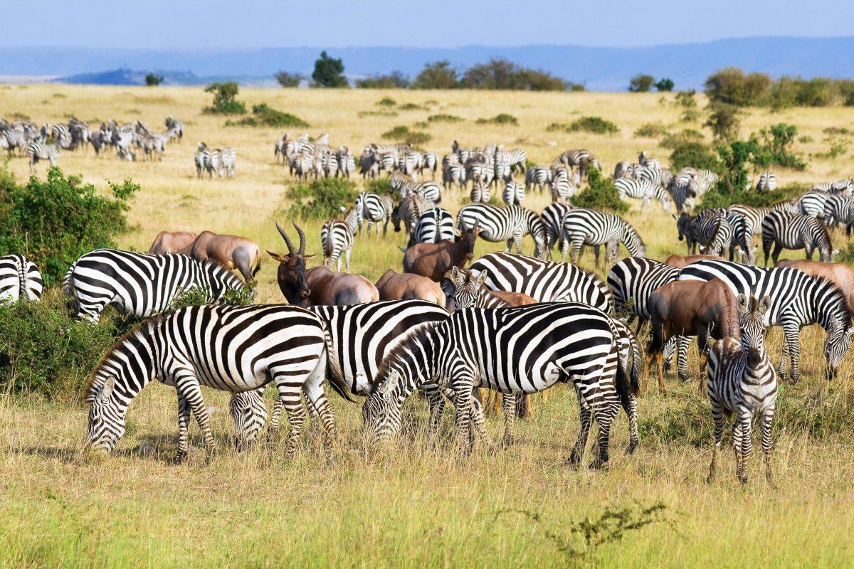 Einmal im Jahr von Juli bis Oktober ziehen Millionen von Tieren von der südlichen Serengeti und der Ngorongoro-Ebene bis in die Masai Mara, Kenia - © erichon / Fotolia