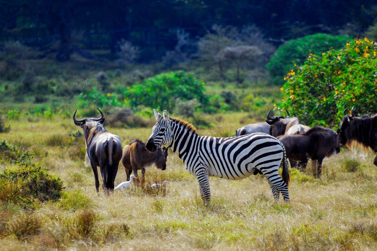 Im Creek Island Wildlife Sanctuary auf einer Insel im Naivasha-See gibt es keine Raubtiere und so können Zebras und Gnus in aller Ruhe grasen und von den Besuchern, Kenia - © Oleg Znamenskiy / Shutterstock