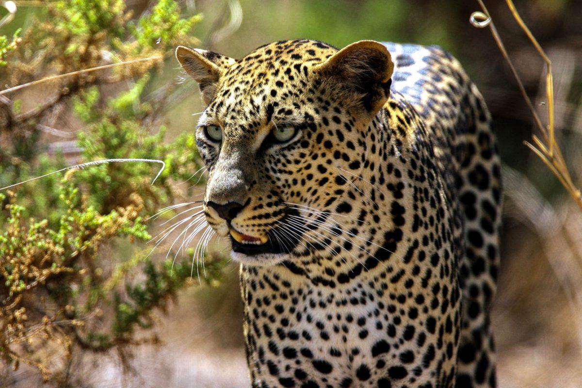 Im Samburu Nationalpark in Kenia ist die Chance größer als sonst wo, sogar die scheuen Leoparden anzutreffen, da sie jahrelang mit Ködern angelockt wurden - © Dennis Donohue / Shutterstock