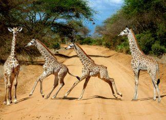 Junge Giraffen galoppieren über eine Straße im Tsavo-Ost-Nationalpark in Kenia - © Jenny Sturm / Shutterstock