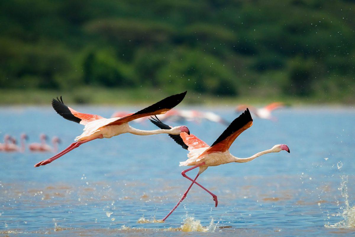 Neben den Flamingos wurden am Bogoria-See in Kenia noch über 130 andere Vogelarten nachgewiesen - © Bartosz Budrewicz / Shutterstock