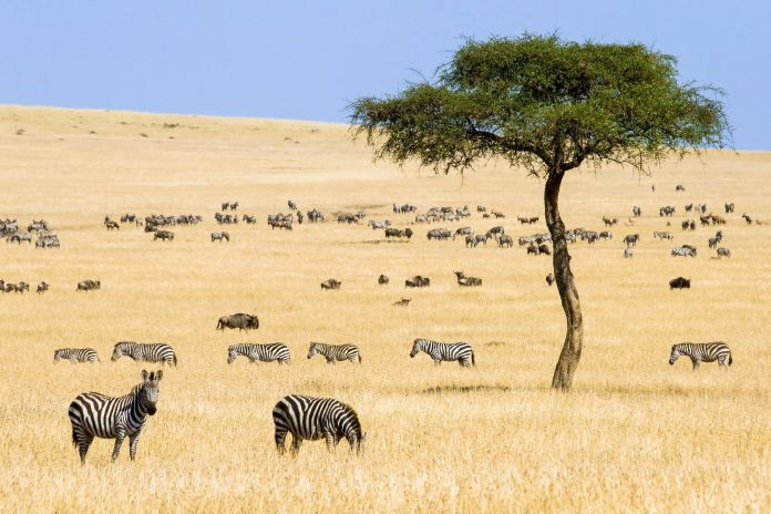 Zebras und Gnus im Masai Mara Wildreservat, Kenia - © erichon / Fotolia
