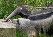 Der Große Ameisenbär ist im Los Katíos Nationalpark in Kolumbien noch in freier Wildbahn anzutreffen - © dennisjacobsen / Fotolia