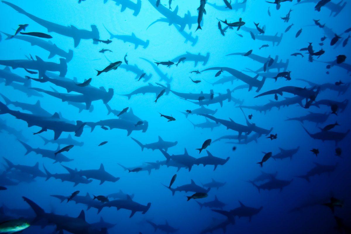 Ganze Schwärme von Hammerhaien, Seidenhaien, Tigerhaien und viele mehr tummeln sich um die Insel Malpelo in Kolumbien - © Brandelet Didier / Fotolia