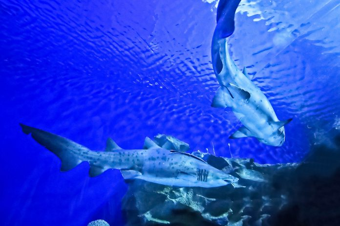 In einem Umkreis von knapp 10km von der Insel Malpelo befindet sich eine Meeresschutzgebiet, welches das spektakulärste Hai-Tauchgebiet der Welt darstellt, Kolumbien - © Tan Kian Khoon / Fotolia