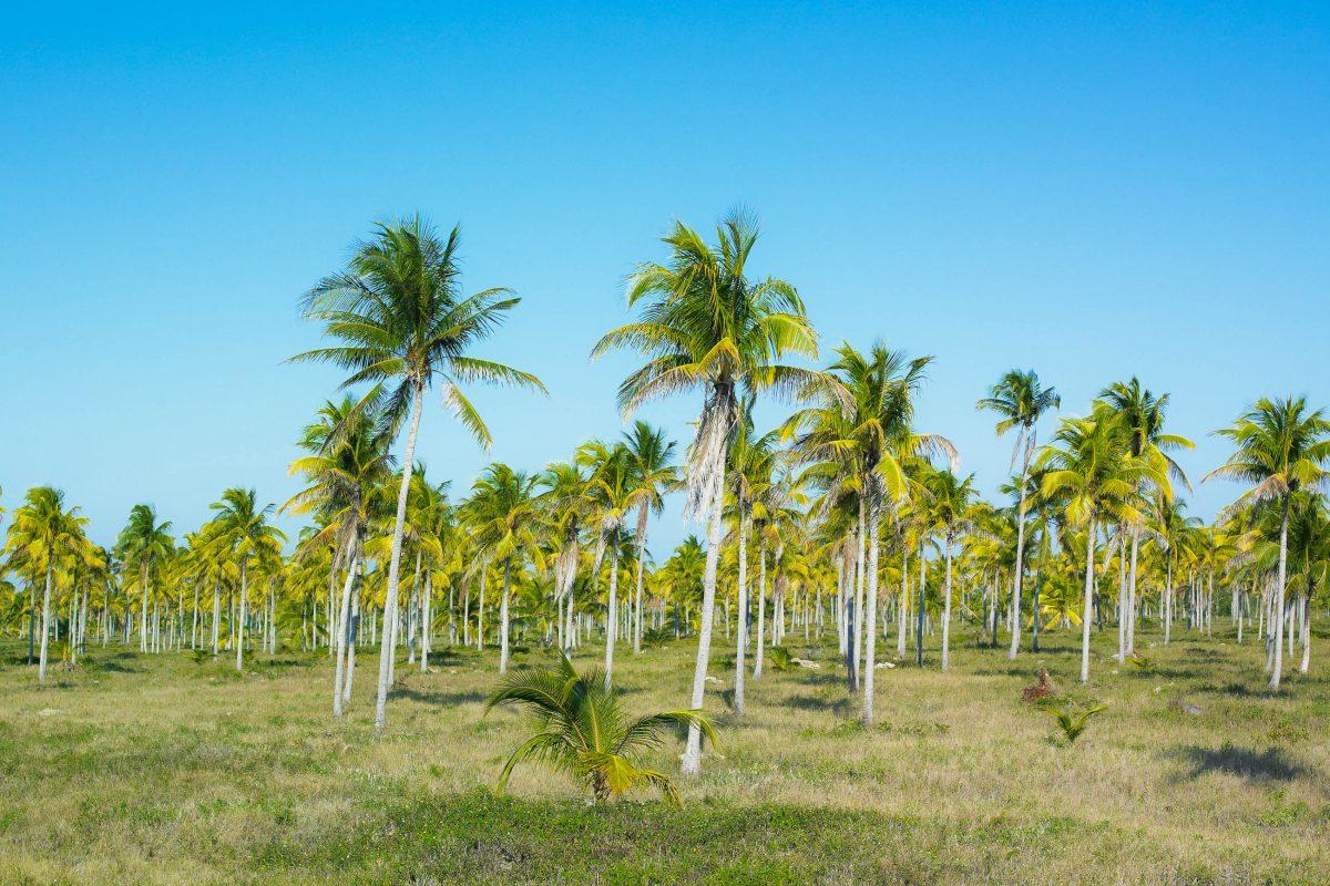 Palmen im Nationalpark Desembarco del Granma, Kuba - © PHB.cz (Richard Semik) / Shutterstock