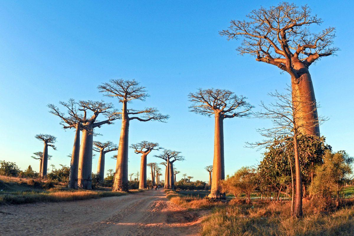 Die Baobab-Allee bei der Stadt Morondava ist ein absolutes Muss für jeden Besucher von Madagaskar - © kasiadiver / Fotolia
