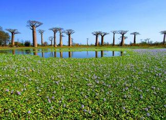 Die spektakulären Baobab-Bäume in Madagaskar - © WANG HSIU-HUA / Fotolia