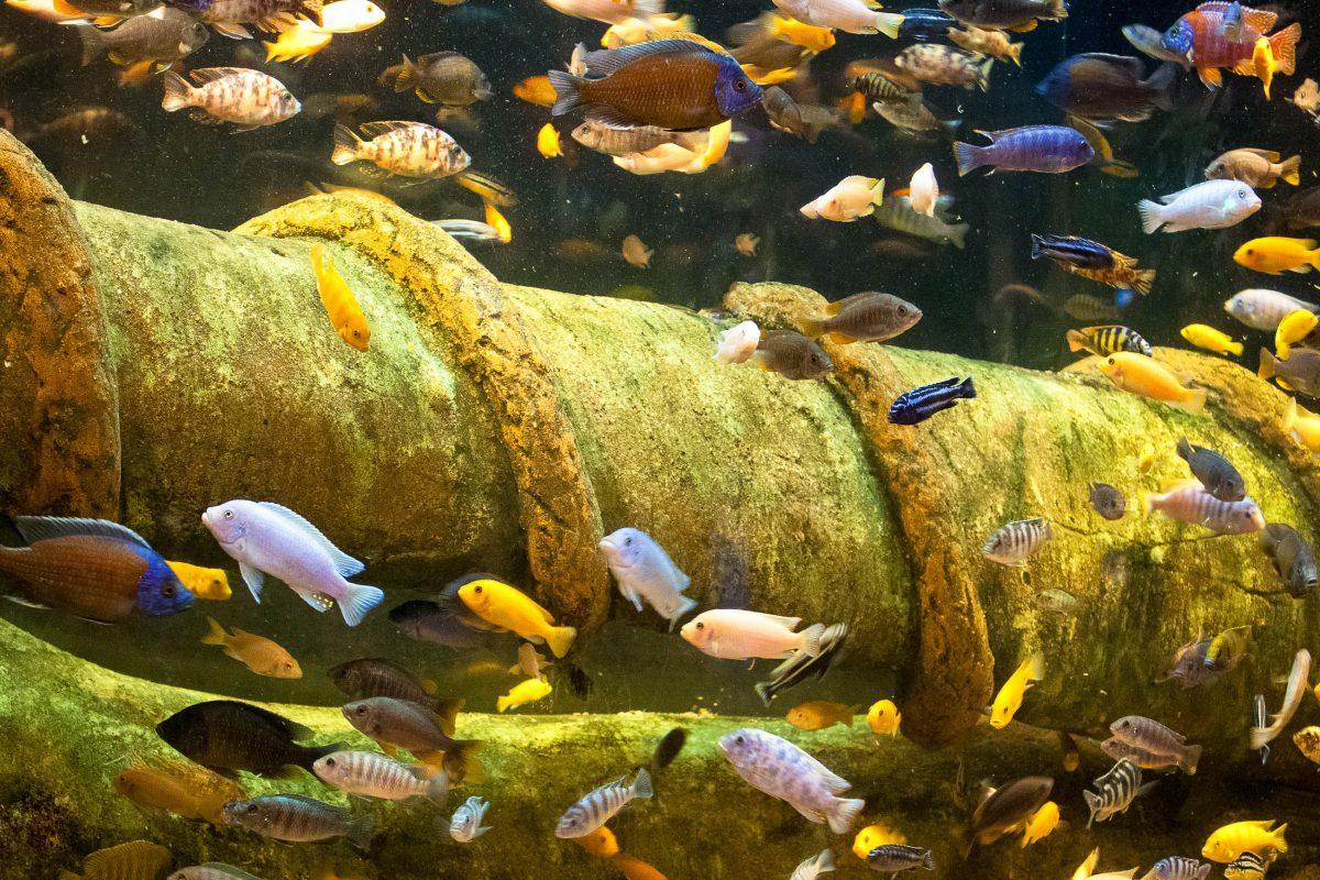 Die prachtvollen Malawi-Buntbarsche aus dem Malawi-See sind beliebte Bewohner der europäischen Aquarien, Malawi - © val lawless / Shutterstock