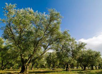 Die Saadier pflanzten im 16. Jahrhundert angeblich 26.000 Ölbäume in den Agdal-Gärten in Marrakesch, Marokko - © Lenar Musin / Shutterstock
