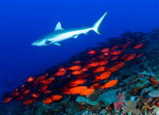 Nicht nur Meerestiere, sondern auch unzählige Flugzeugwracks gibt es im Pazifik um das Bikini-Atoll zu erforschen, Marshall-Inseln - © Luiz A. Rocha / Shutterstock