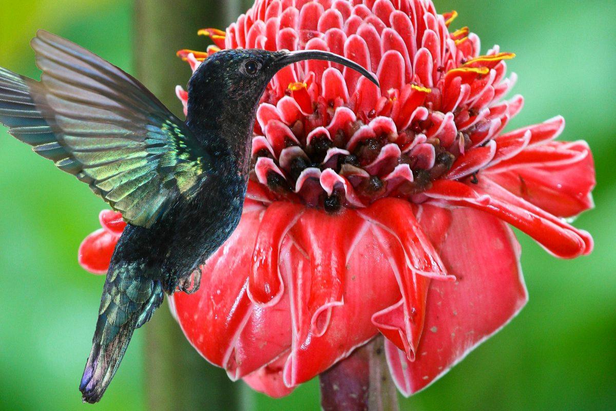 Schwarzer Kolibri vor der prachtvollen Blüte eines Fackel-Ingwers im Jardin de Balata in Martinique - © david6259 / Fotolia