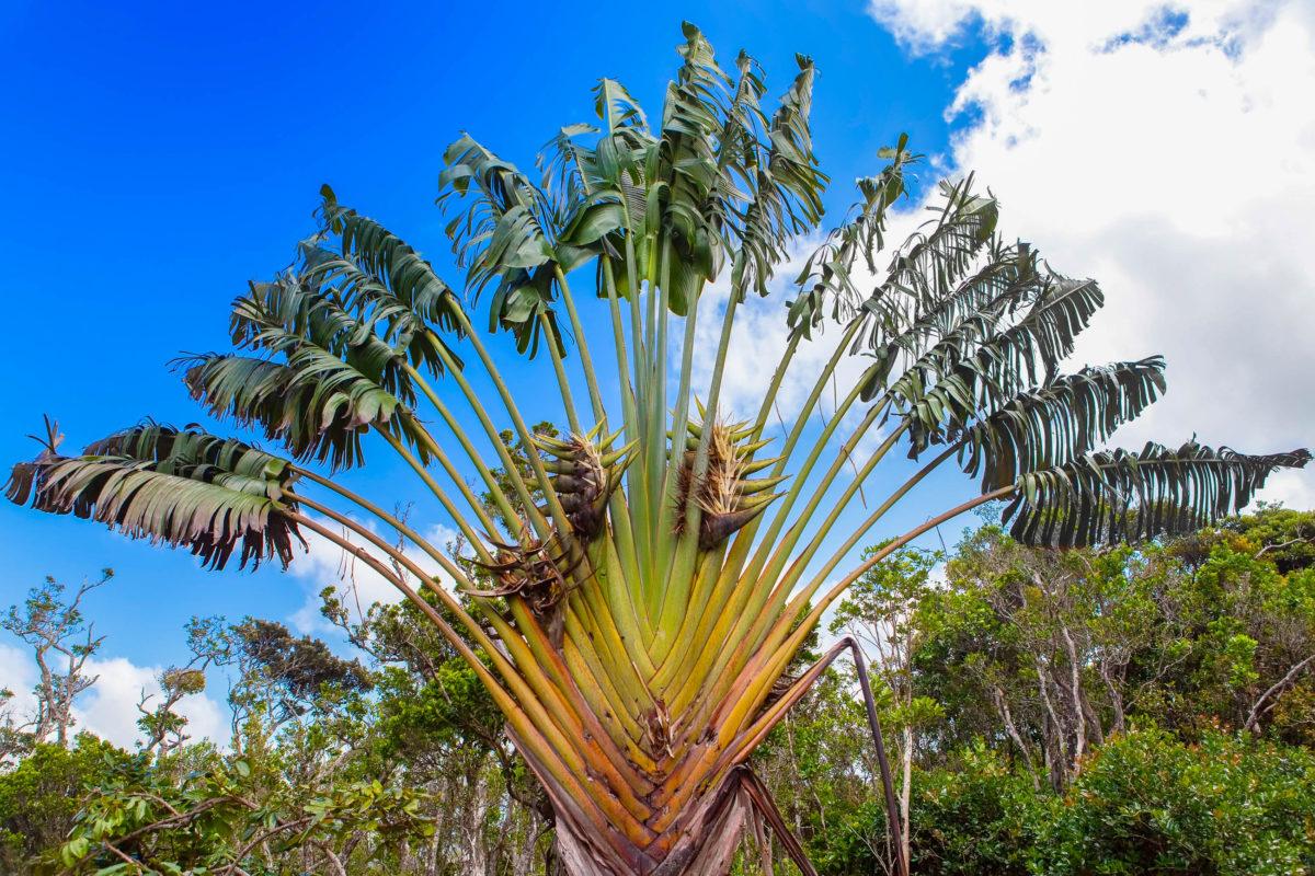 Baum der Reisenden (Ravenala madagascariensis) aus der Familie der Strelitziengewächse im Black River Gorges Nationalpark, Mauritius - © KKulikov / Shutterstock
